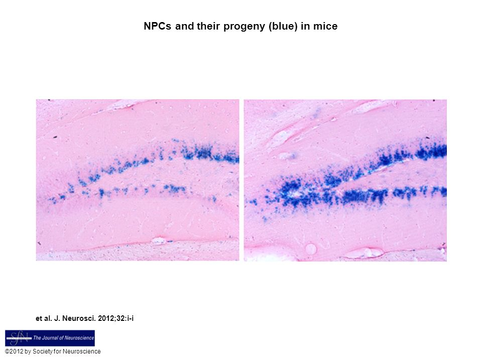 NPCs and their progeny (blue) in mice et al. J. Neurosci.
