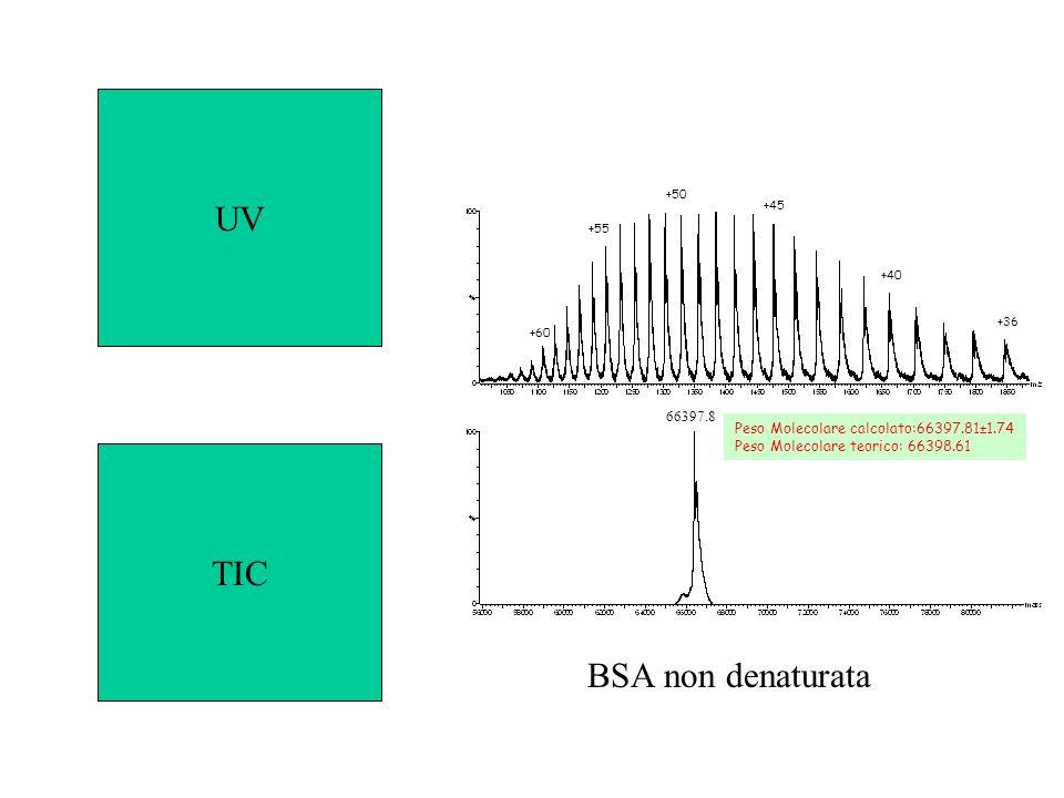 +55 +50 +45 +40 +36 +60 66397.8 Peso Molecolare calcolato:66397.81±1.74 Peso Molecolare teorico: 66398.61 BSA non denaturata UV TIC
