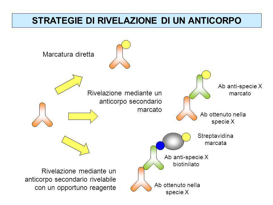 STRATEGIE DI RIVELAZIONE DI UN ANTICORPO Marcatura diretta Rivelazione mediante un anticorpo secondario marcato Ab ottenuto nella specie X Ab anti-spe