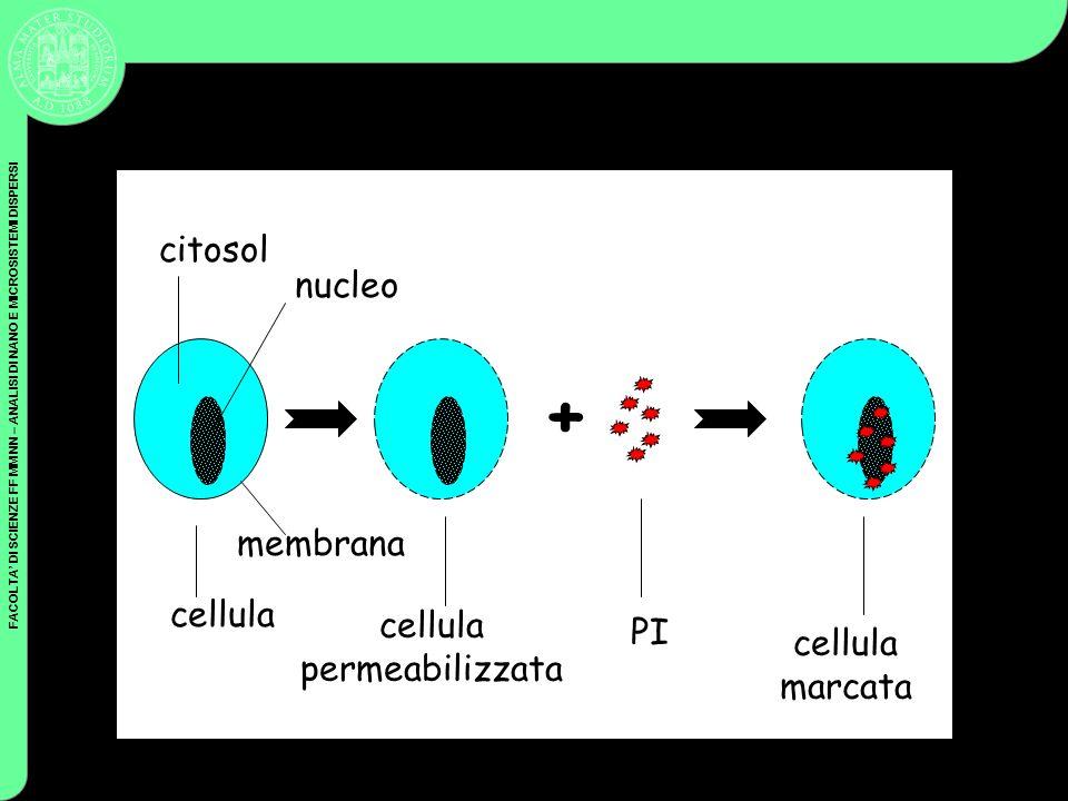FACOLTA DI SCIENZE FF MM NN – ANALISI DI NANO E MICROSISTEMI DISPERSI + cellula cellula permeabilizzata PI cellula marcata citosol nucleo membrana