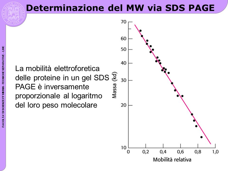 FACOLTA DI SCIENZE FF MM NN –TECNICHE SEPARATIVE – LMC Determinazione del MW via SDS PAGE La mobilità elettroforetica delle proteine in un gel SDS PAG