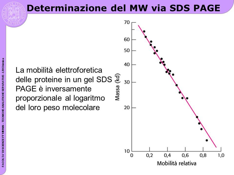 FACOLTA DI SCIENZE FF MM NN – TECNICHE ANALITICHE SEPARATIVE– LM Chimica Determinazione del MW via SDS PAGE La mobilità elettroforetica delle proteine in un gel SDS PAGE è inversamente proporzionale al logaritmo del loro peso molecolare