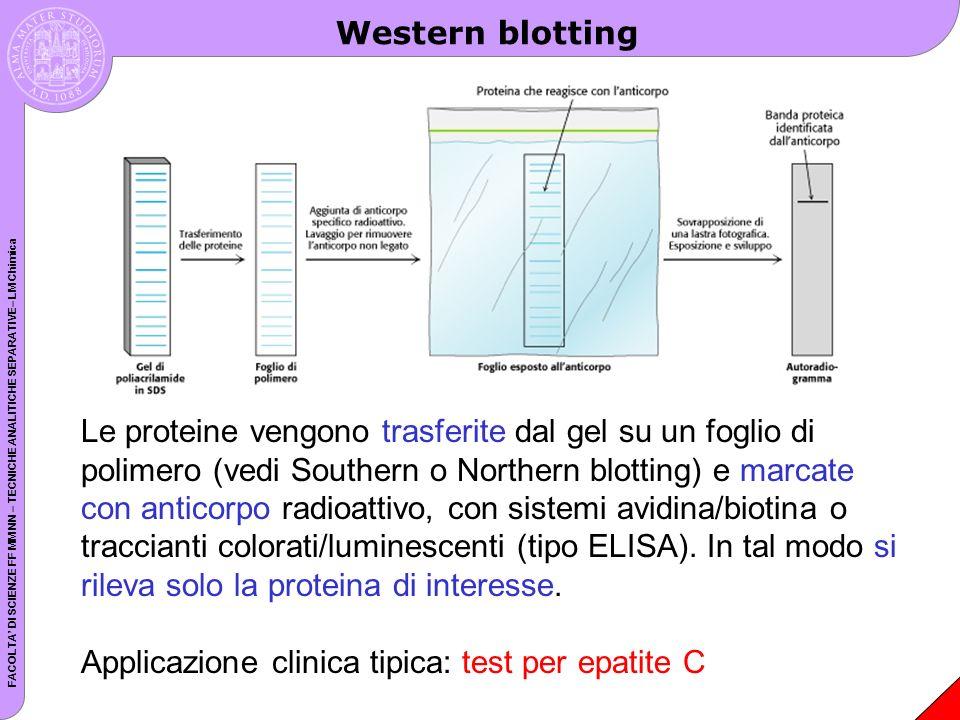 FACOLTA DI SCIENZE FF MM NN – TECNICHE ANALITICHE SEPARATIVE– LM Chimica Western blotting Le proteine vengono trasferite dal gel su un foglio di polim