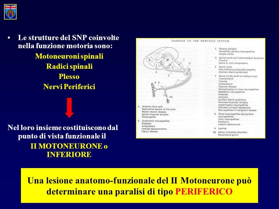 Le strutture del SNP coinvolte nella funzione motoria sono: Motoneuroni spinali Radici spinali Plesso Nervi Periferici Nel loro insieme costituiscono