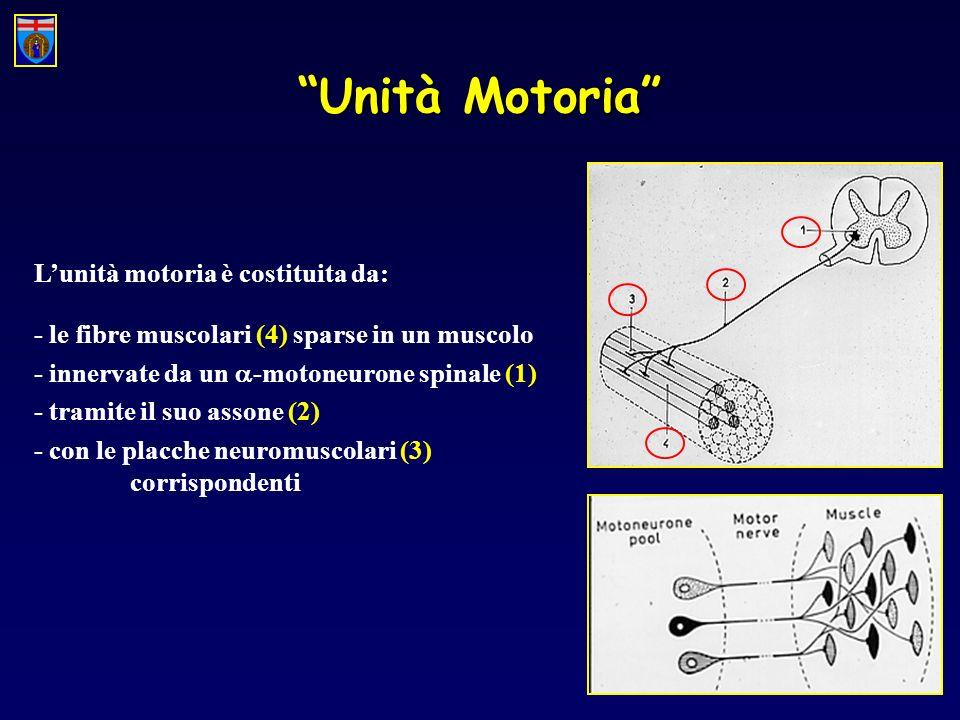 Unità Motoria Lunità motoria è costituita da: - le fibre muscolari (4) sparse in un muscolo - innervate da un -motoneurone spinale (1) - tramite il su