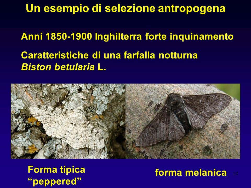 18 Un esempio di selezione antropogena Anni 1850-1900 Inghilterra forte inquinamento Caratteristiche di una farfalla notturna Biston betularia L. Form