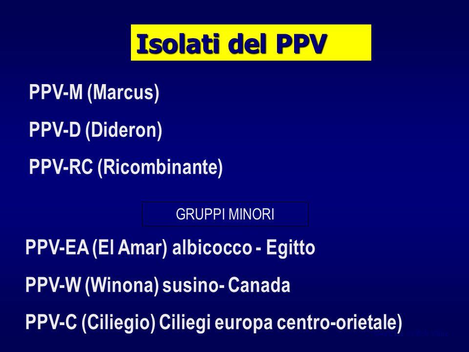 Gentileza de Bob Milne Isolati del PPV PPV-M (Marcus) PPV-D (Dideron) PPV-RC (Ricombinante) PPV-EA (El Amar) albicocco - Egitto PPV-W (Winona) susino- Canada PPV-C (Ciliegio) Ciliegi europa centro-orietale) GRUPPI MINORI