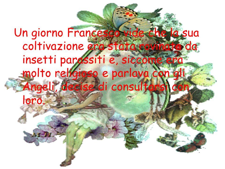 Un giorno Francesco vide che la sua coltivazione era stata rovinata da insetti parassiti e, siccome era molto religioso e parlava con gli Angeli, deci