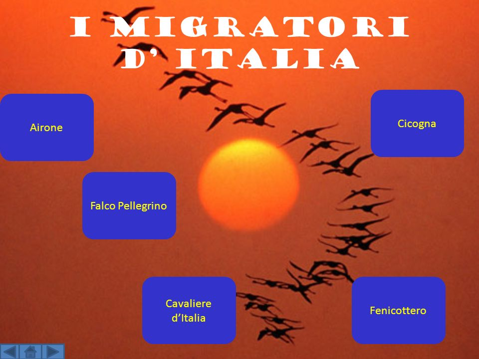 i migratori d Italia Fenicottero Airone Cavaliere dItalia Cicogna Falco Pellegrino