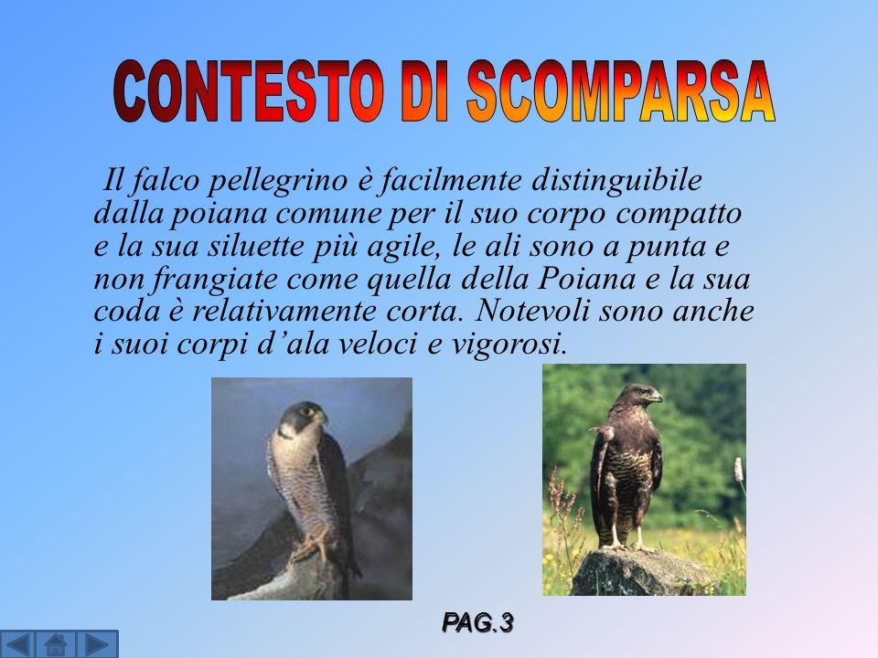Il falco pellegrino è facilmente distinguibile dalla poiana comune per il suo corpo compatto e la sua siluette più agile, le ali sono a punta e non fr