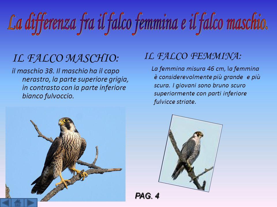 IL FALCO MASCHIO: il maschio 38. Il maschio ha il capo nerastro, la parte superiore grigia, in contrasto con la parte inferiore bianco fulvoccio. IL F