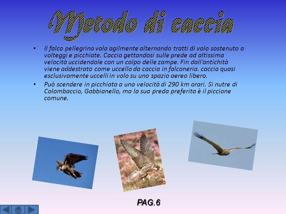 Il falco pellegrino vola agilmente alternando tratti di volo sostenuto a volteggi e picchiate. Caccia gettandosi sulle prede ad altissima velocità ucc