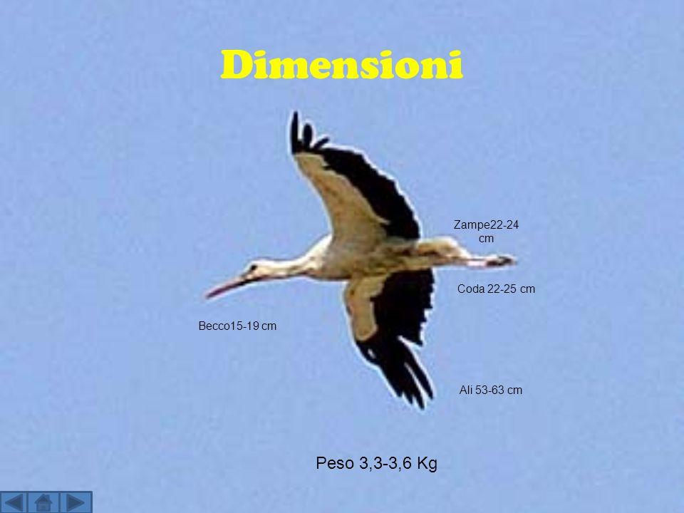 Dimensioni Peso 3,3-3,6 Kg Zampe22-24 cm Becco15-19 cm Ali 53-63 cm Coda 22-25 cm