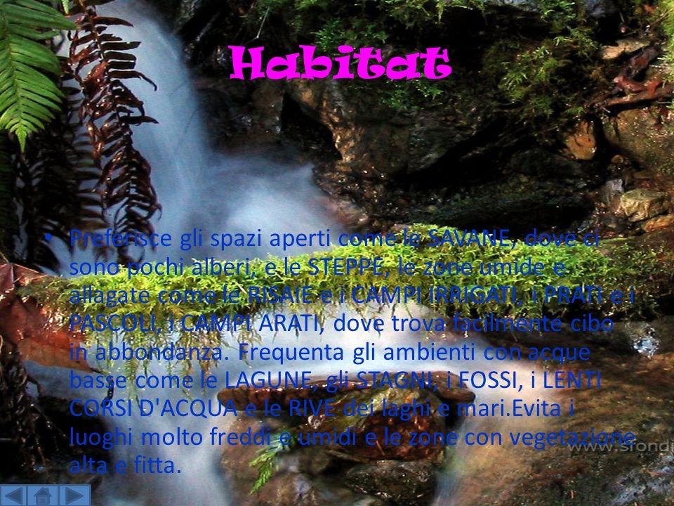 Habitat Preferisce gli spazi aperti come le SAVANE, dove ci sono pochi alberi, e le STEPPE, le zone umide e allagate come le RISAIE e i CAMPI IRRIGATI, i PRATI e i PASCOLI, i CAMPI ARATI, dove trova facilmente cibo in abbondanza.