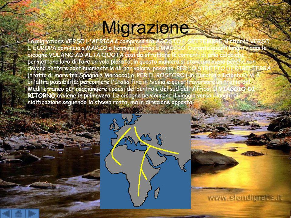 Migrazione La migrazione VERSO L AFRICA è compresa tra AGOSTO E SETTEMBRE, il ritorno VERSO L EUROPA comincia a MARZO e termina intorno a MAGGIO.