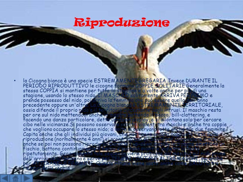 Riproduzione la Cicogna bianca è una specie ESTREMAMENTE GREGARIA.Invece DURANTE IL PERIODO RIPRODUTTIVO le cicogne formano COPPIE SOLITARIE Generalmente la stessa COPPIA si mantiene per tutta la stagione e a volte anche per più di una stagione, usando lo stesso nido.