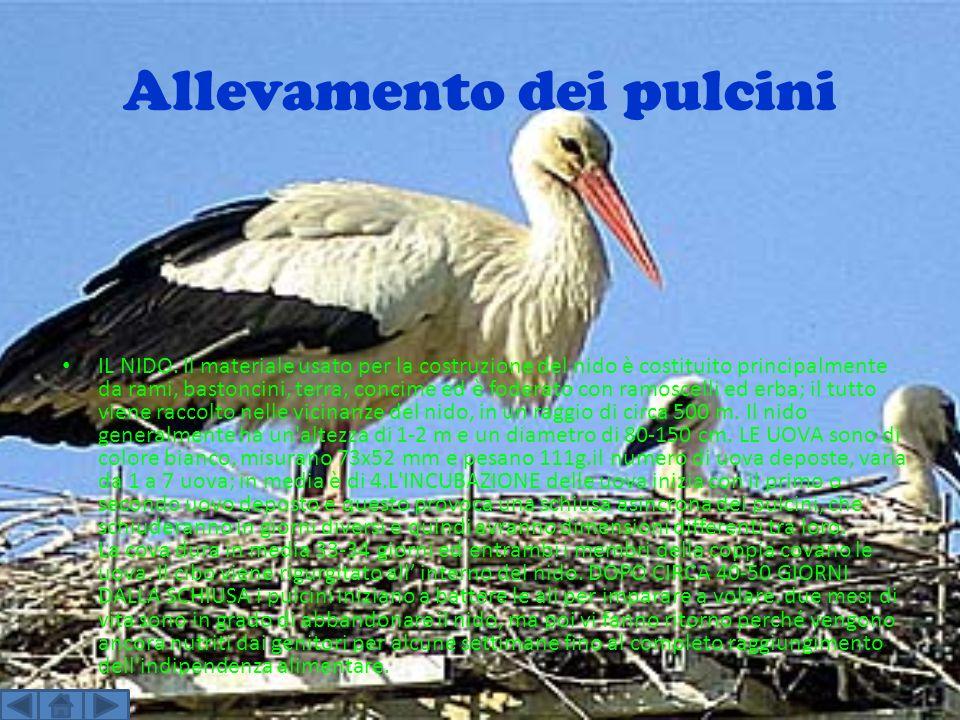 Allevamento dei pulcini IL NIDO. Il materiale usato per la costruzione del nido è costituito principalmente da rami, bastoncini, terra, concime ed è f
