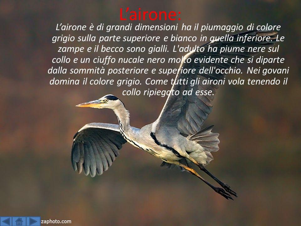 Lairone: Lairone è di grandi dimensioni ha il piumaggio di colore grigio sulla parte superiore e bianco in quella inferiore.