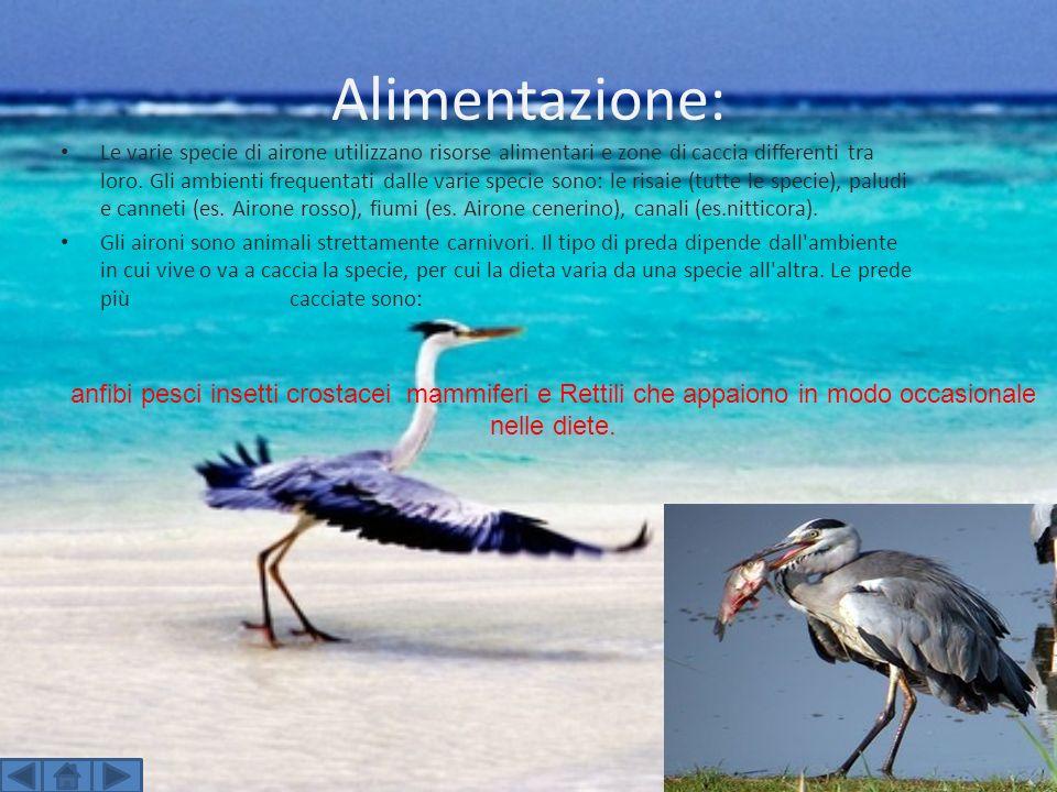 Alimentazione: Le varie specie di airone utilizzano risorse alimentari e zone di caccia differenti tra loro. Gli ambienti frequentati dalle varie spec