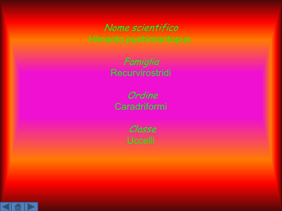 Nome scientifico Himanto pushimantopus Famiglia Recurvirostridi Ordine Caradriformi Classe Uccelli