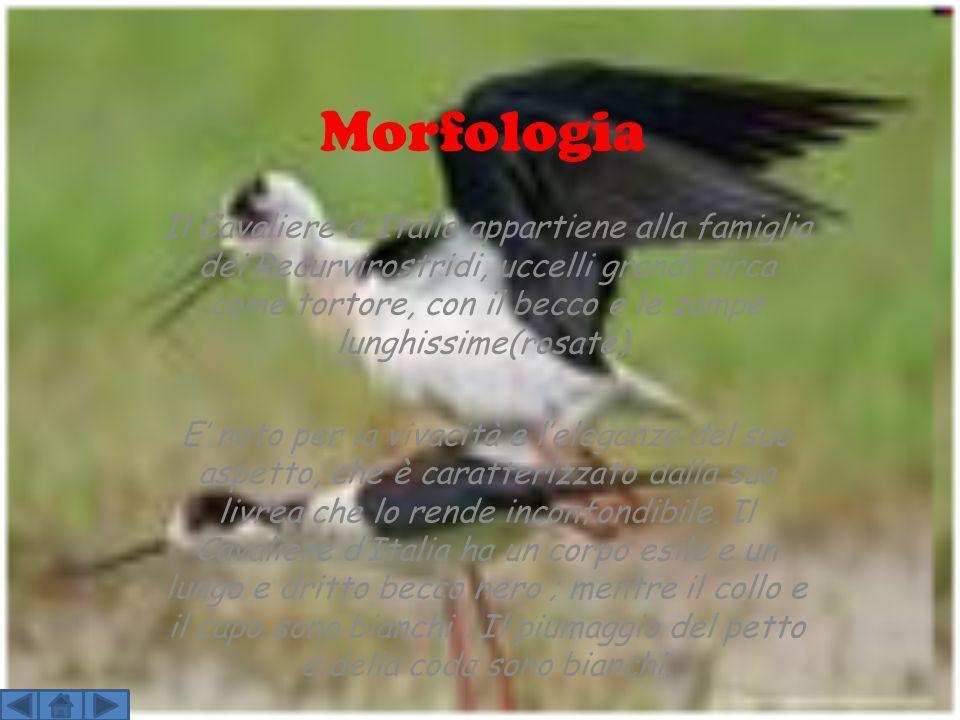 Morfologia Il Cavaliere d'Italia appartiene alla famiglia dei Recurvirostridi, uccelli grandi circa come tortore, con il becco e le zampe lunghissime(