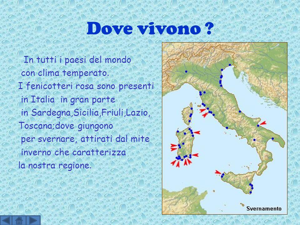 Dove vivono ? In tutti i paesi del mondo con clima temperato. I fenicotteri rosa sono presenti in Italia in gran parte in Sardegna,Sicilia,Friuli,Lazi