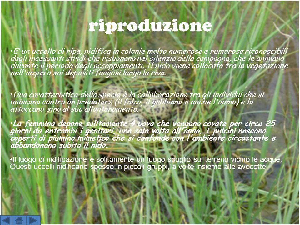 riproduzione E un uccello di ripa, nidifica in colonie molto numerose e rumorose riconoscibili dagli incessanti stridi che risuonano nel silenzio dell