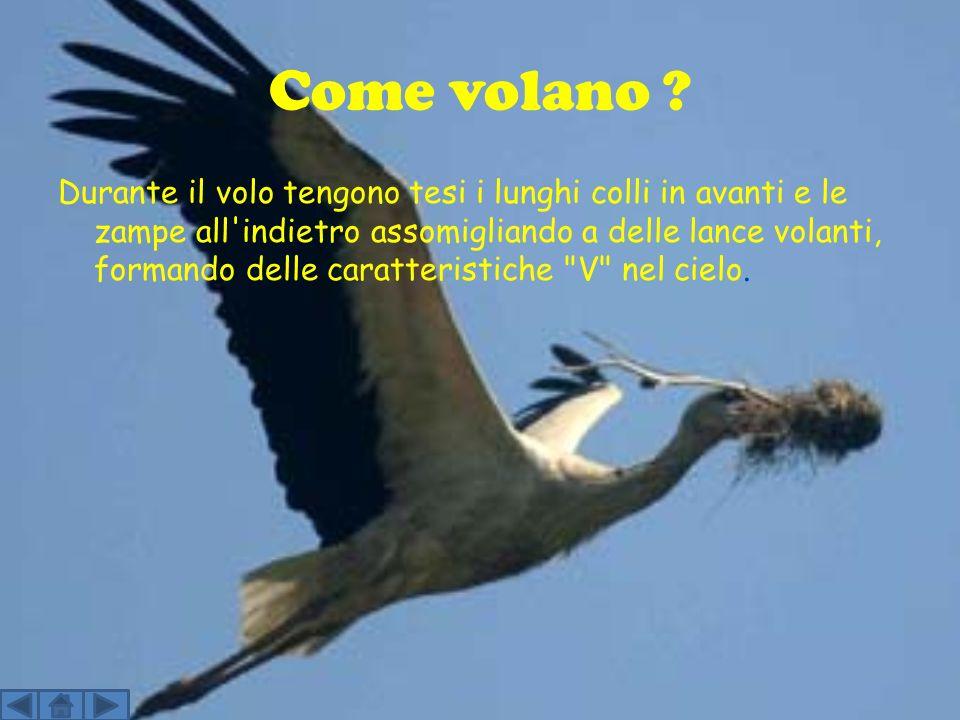 La cicogna Classe: Uccelli Ordine: Ciconiformi Famiglia: Ciconidi Genere: Ciconia Specie: ciconia