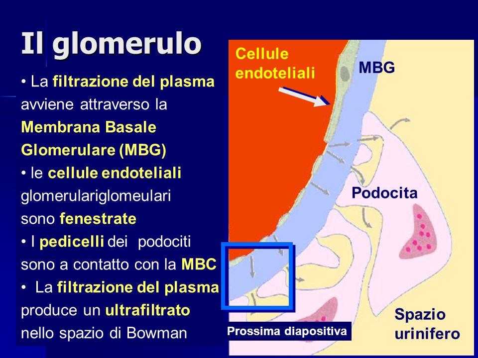 La filtrazione del plasma avviene attraverso la Membrana Basale Glomerulare (MBG) le cellule endoteliali glomerulariglomeulari sono fenestrate I pedicelli dei podociti sono a contatto con la MBC La filtrazione del plasma produce un ultrafiltrato nello spazio di Bowman MBG Cellule endoteliali Podocita Spazio urinifero Prossima diapositiva Il glomerulo