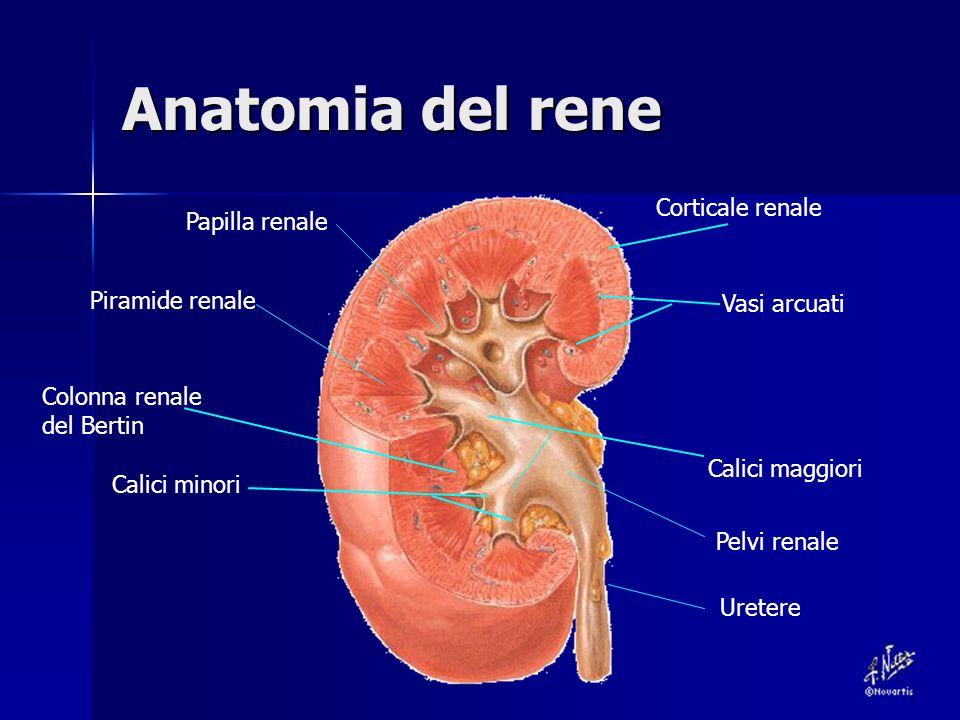Anatomia del rene Corticale renale Calici minori Colonna renale del Bertin Calici maggiori Pelvi renale Uretere Papilla renale Piramide renale Vasi arcuati