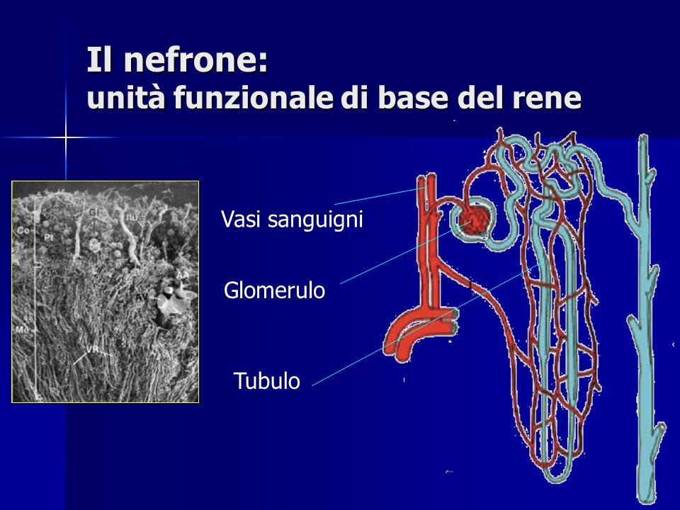I vasi sanguigni del nefrone Arterie arcuate Forniscono sangue arterioso Arteriola afferente Fornisce il sangue al glomerulo Capillari glomerulari Permettono la plasmafiltrazione Arteriole efferenti Fuoriuscita del sangue dal glomerulo Capillari peritubulari Formano una rete attorno ai tubuli Vene arcuate Ritorno venoso