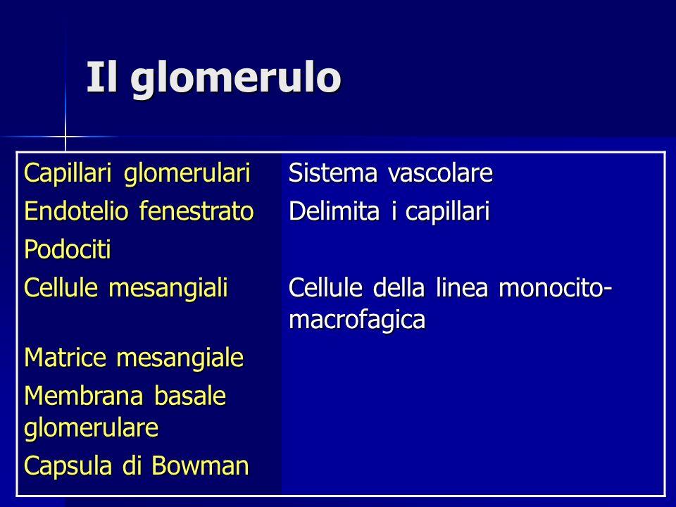 Il glomerulo Capillari glomerulari Sistema vascolare Endotelio fenestrato Delimita i capillari Podociti Cellule mesangiali Cellule della linea monocito- macrofagica Matrice mesangiale Membrana basale glomerulare Capsula di Bowman