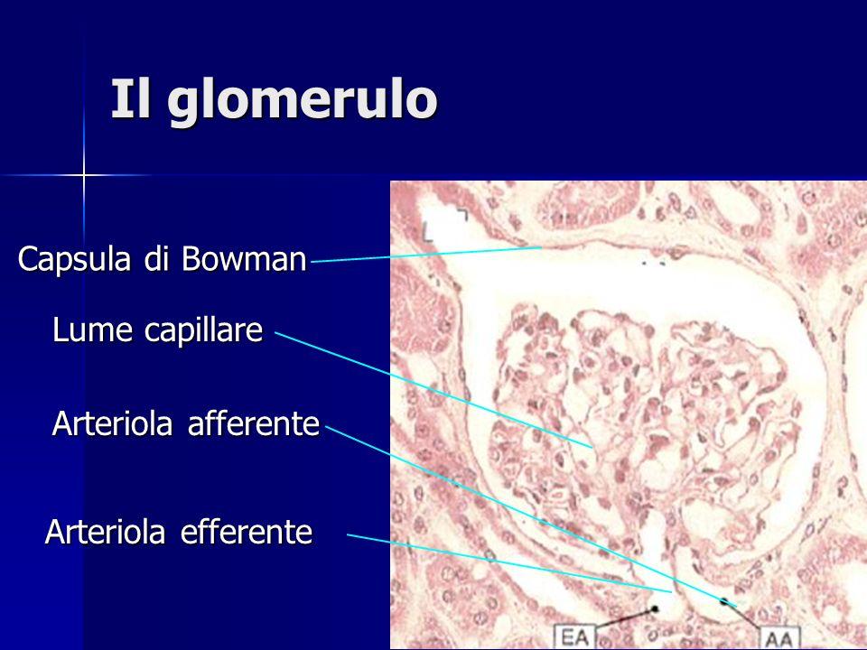 Glomerulo Tubulo convoluto prossimale Tubulo convoluto distale Dotto Collettore Ansa di Henle I tubuli