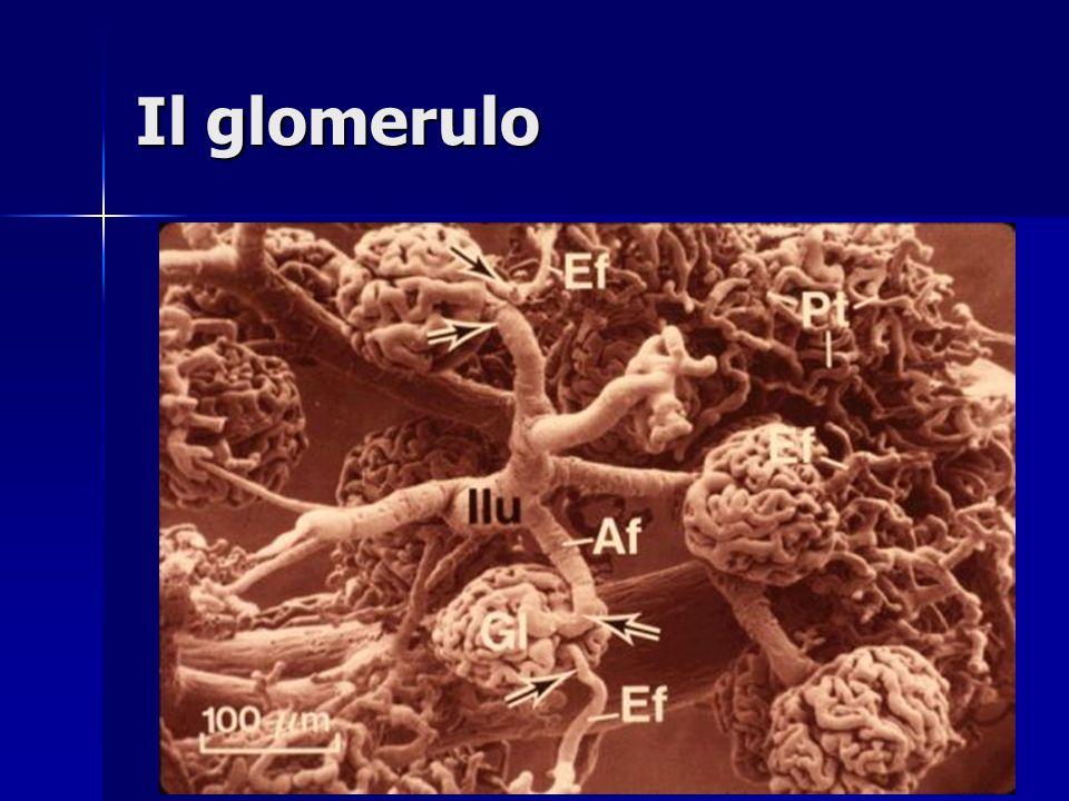 Il glomerulo