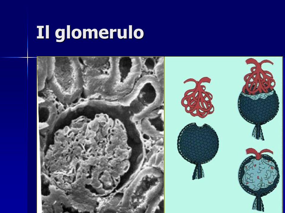Funzioni del nefrone Escrezione di scorie Escrezione di scorie –Creatinina distruzione muscolare (origina dalla creatina) –Urea azoto dal metabolismo degli aa –Acido urico dal metabolismo dellacido urico Regolazione del bilancio idrico Regolazione del bilancio idrico Conservazione Conservazione –Elettroliti: –Elettroliti: Na +, K +, Cl -, Ca ++, Mg ++, PO 4 3- – –Glucosio – –Aminoacidi