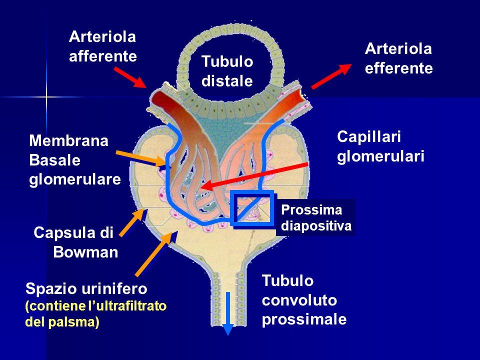 Tubulo distale Arteriola afferente Arteriola efferente Capsula di Bowman Spazio urinifero (contiene lultrafiltrato del palsma) Tubulo convoluto prossimale Membrana Basale glomerulare Capillari glomerulari Prossima diapositiva