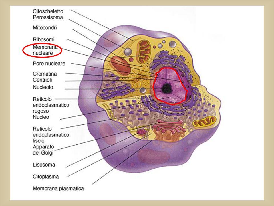 Tutte le informazioni per COSTRUIRE un individuo (cioè tutto il materiale genetico) sono contenute nel DNA Negli Eucarioti compare una nuova struttura che protegge e separa fisicamente il DNA dal resto della cellula (dal citoplasma ): IL NUCLEO