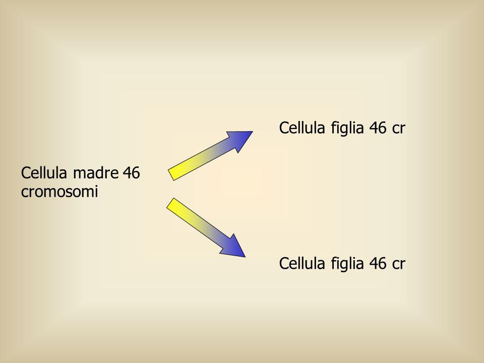 Cellula figlia 46 cr Cellula madre 46 cromosomi