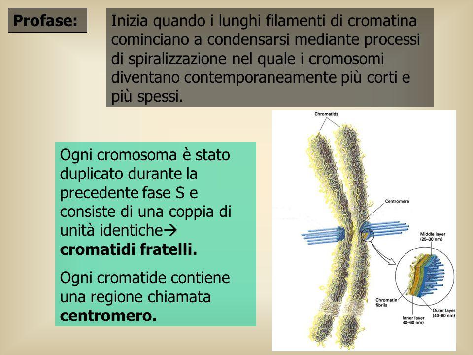 Profase: Inizia quando i lunghi filamenti di cromatina cominciano a condensarsi mediante processi di spiralizzazione nel quale i cromosomi diventano c