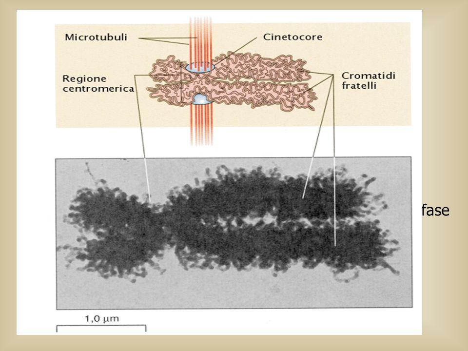 Profase:Inizia quando i lunghi filamenti di cromatina cominciano a condensarsi mediante processi di spiralizzazione nel quale i cromosomi diventano co
