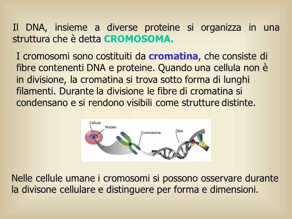 Il DNA, insieme a diverse proteine si organizza in una struttura che è detta CROMOSOMA. Nelle cellule umane i cromosomi si possono osservare durante l