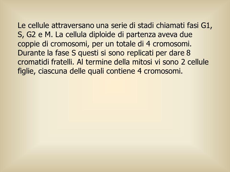 Le cellule attraversano una serie di stadi chiamati fasi G1, S, G2 e M. La cellula diploide di partenza aveva due coppie di cromosomi, per un totale d