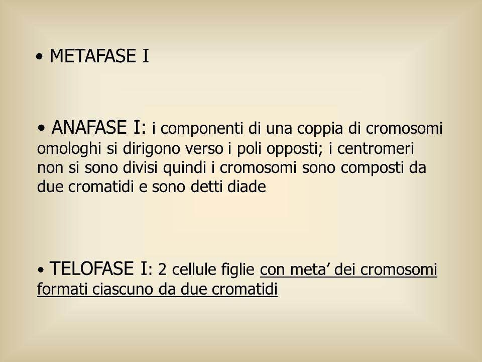 METAFASE I ANAFASE I: i componenti di una coppia di cromosomi omologhi si dirigono verso i poli opposti; i centromeri non si sono divisi quindi i crom