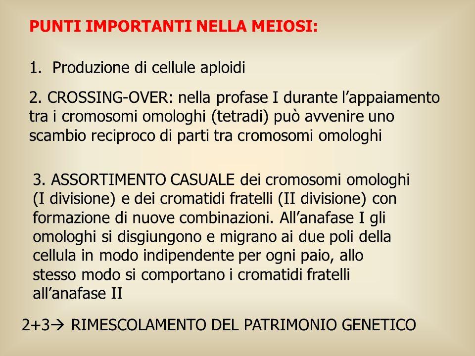 1. Produzione di cellule aploidi 3. ASSORTIMENTO CASUALE dei cromosomi omologhi (I divisione) e dei cromatidi fratelli (II divisione) con formazione d