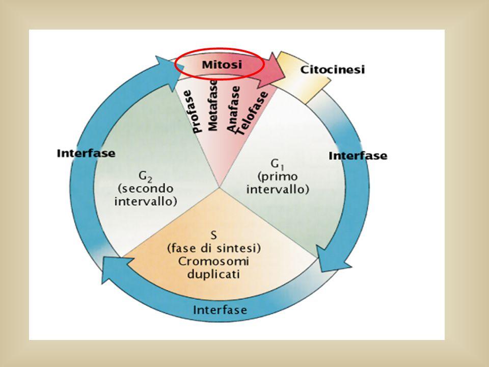Metafase:i cromosomi sono allineati lungo il piano equatoriale della cellula (piastra metafasica) e prendono contatto con i microtubuli.