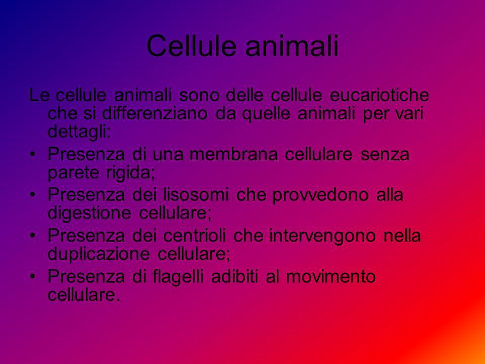 Cellule vegetali Le cellule vegetali sono delle cellule eucariotiche che si differenziano da quelle animali per vari dettagli: Presenza di una parete