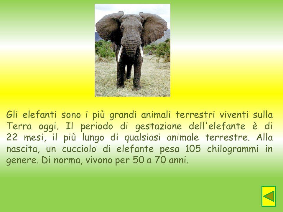 Gli elefanti sono i più grandi animali terrestri viventi sulla Terra oggi. Il periodo di gestazione dell'elefante è di 22 mesi, il più lungo di qualsi