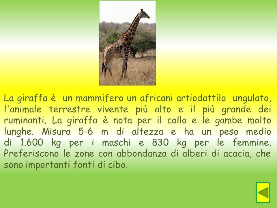La giraffa è un mammifero un africani artiodattilo ungulato, l'animale terrestre vivente più alto e il più grande dei ruminanti. La giraffa è nota per