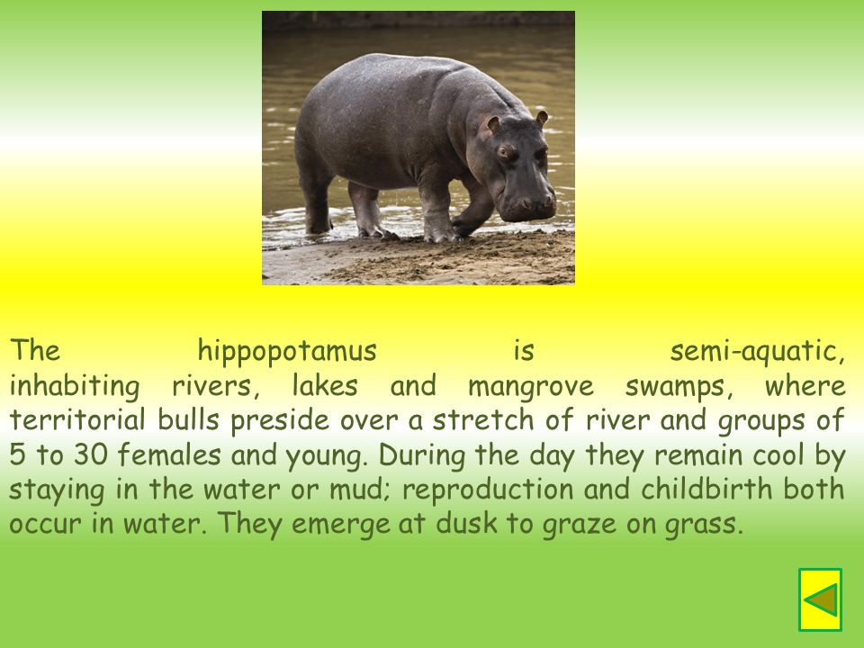 The hippopotamus is semi-aquatic, inhabiting rivers, lakes and mangrove swamps, where territorial bulls preside over a stretch of river and groups of