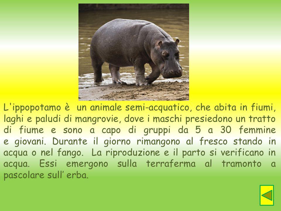 L'ippopotamo è un animale semi-acquatico, che abita in fiumi, laghi e paludi di mangrovie, dove i maschi presiedono un tratto di fiume e sono a capo d